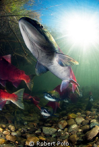 Sockeye salmon.British Columbia, Canada by Robert Polo 